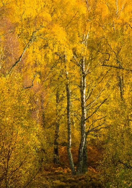 Autumn colours, Craigellachie, Aviemore