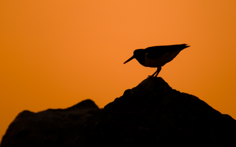 Oystercatcher at sunset, Port Mhor, Colonsay